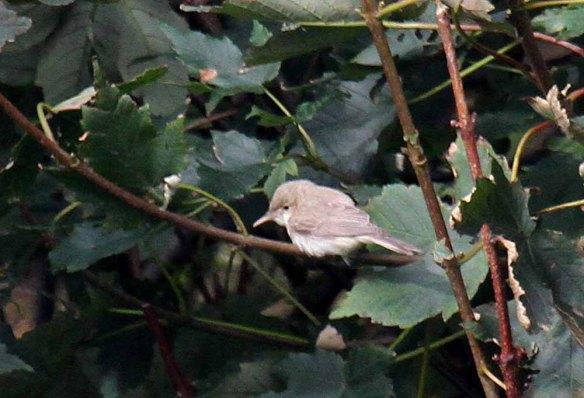 Eastern Olivaceous Warbler (7)