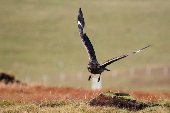 Great Skua (12)