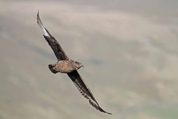 Great Skua (15)