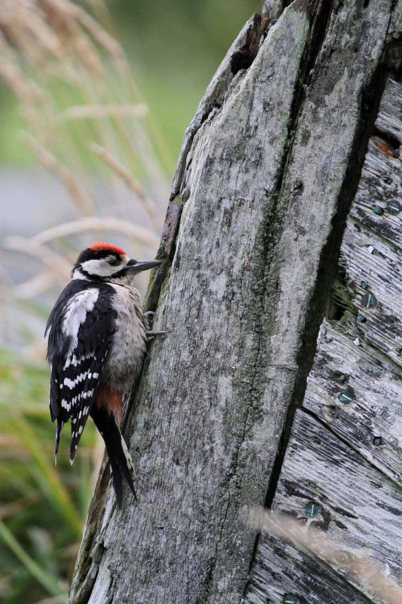 Great Spotted Woodpecker, Ham (16)
