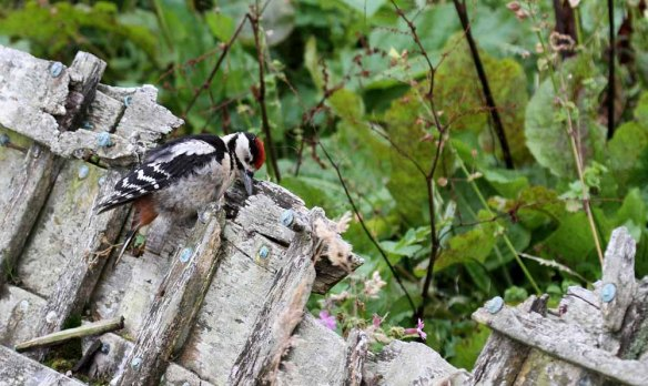 Great Spotted Woodpecker, Ham (38)