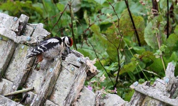 Great Spotted Woodpecker, Ham (38)