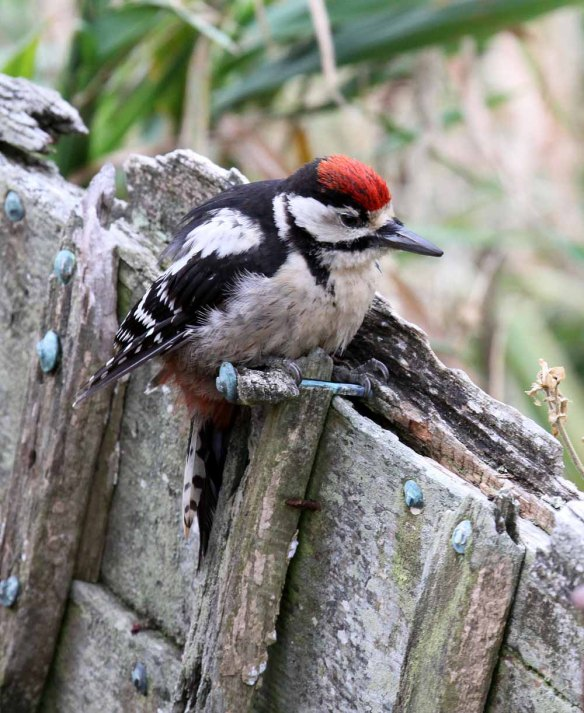 Great Spotted Woodpecker, Ham (56)