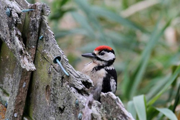 Great Spotted Woodpecker, Ham (58)