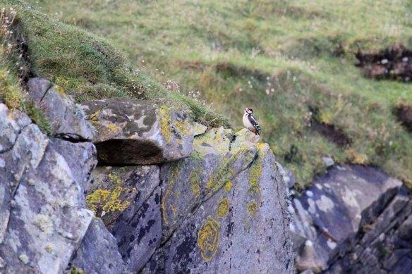 Great Spotted Woodpecker, Trolli Geo (7)