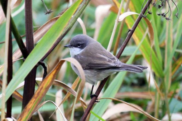 Lesser Whitethroat 2 (4)