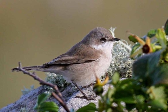 Lesser Whitethroat 3 (6)