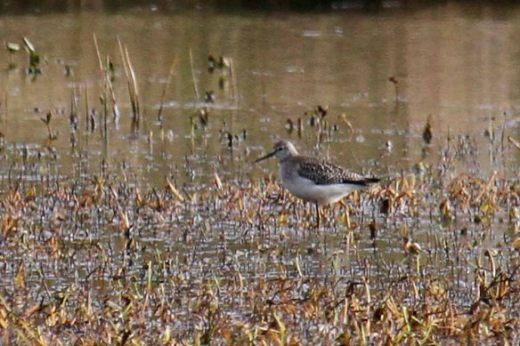 Lesser Yellowlegs, Loch of Clevigarth (3)