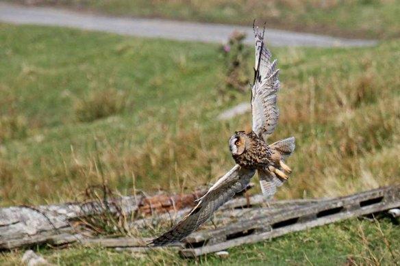 Long-eared Owl (1)