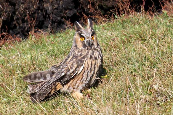 Long-eared Owl (113)