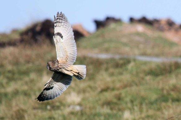 Long-eared Owl (4)