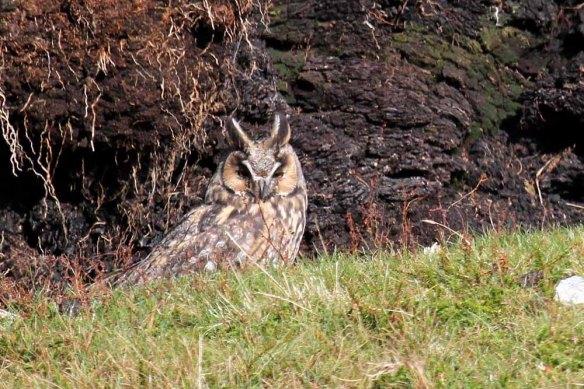 Long-eared Owl (44)