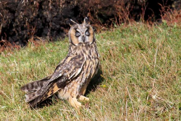 Long-eared Owl (83)