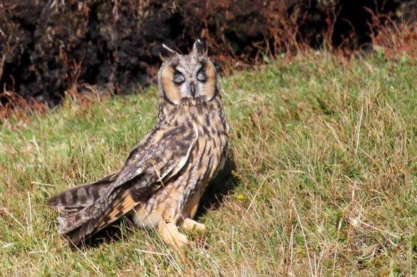 Long-eared Owl (83)