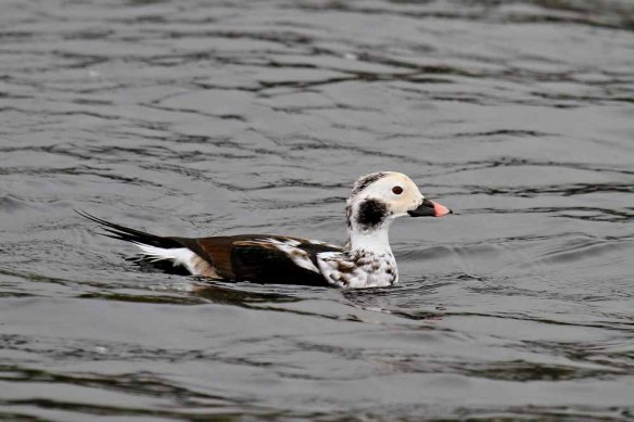 Long-tailed Duck (140)