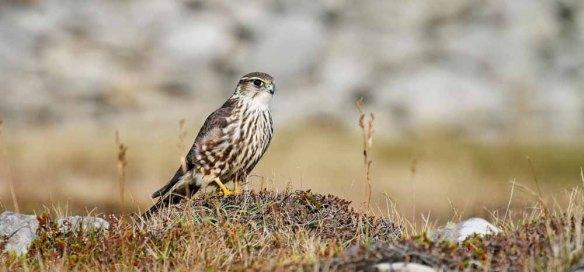 Merlin (236)