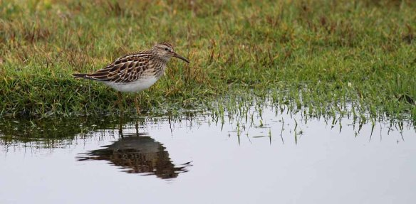 Pectoral Sandpiper, South Ness (25)