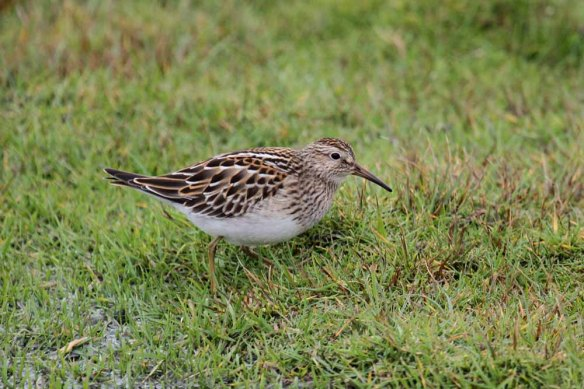 Pectoral Sandpiper, South Ness (36)