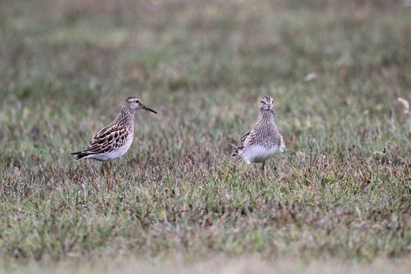 Pectoral Sandpiper, South Ness (54)