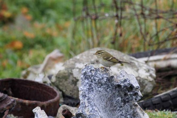 Yellow-browed Warbler (16)