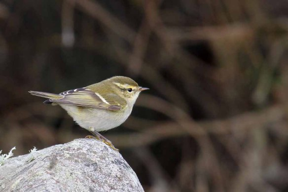 Yellow-browed Warbler (7)