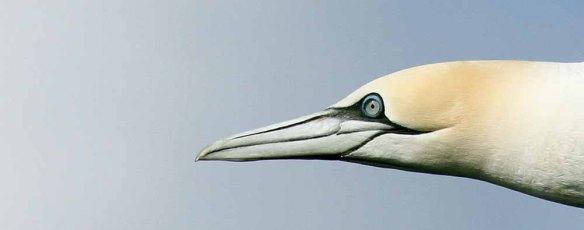 Gannet (8)