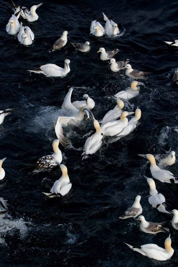 Gannet melee (8)