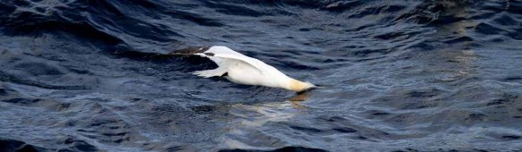 Gannet plunge diving (1)