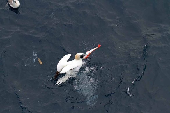 Gannet with fish (6)