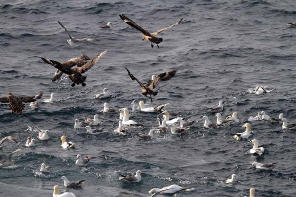 Gannets Great Skuas and Fulmars