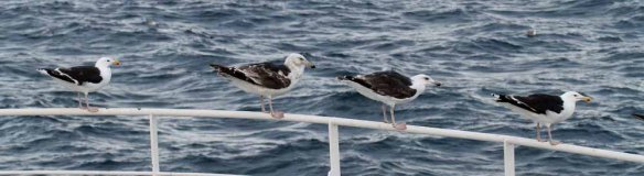 Great Black-backed Gull (6)
