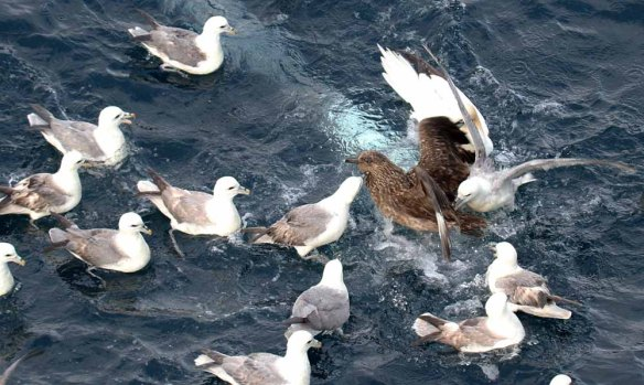 Great Skua attacked by Fulmars