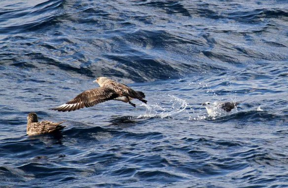 Great Skua being attacked by Fulmar (2)