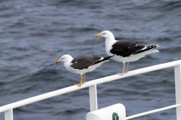 Greater & Lesser Black-backed Gulls (1)