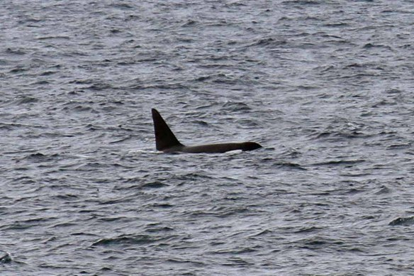 Killer Whales, NW of Foula (1)