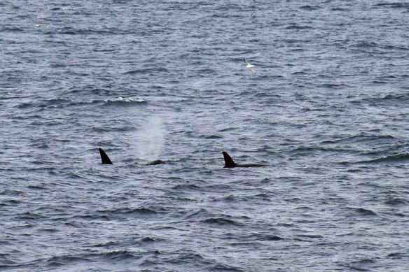 Killer Whales, NW of Foula (18)
