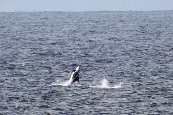 White-beaked Dolphins (20)
