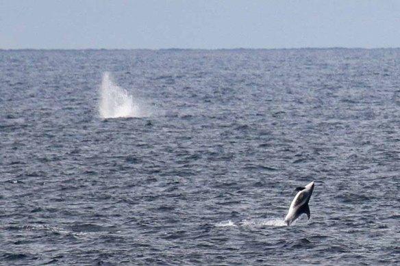 White-beaked Dolphins (22)