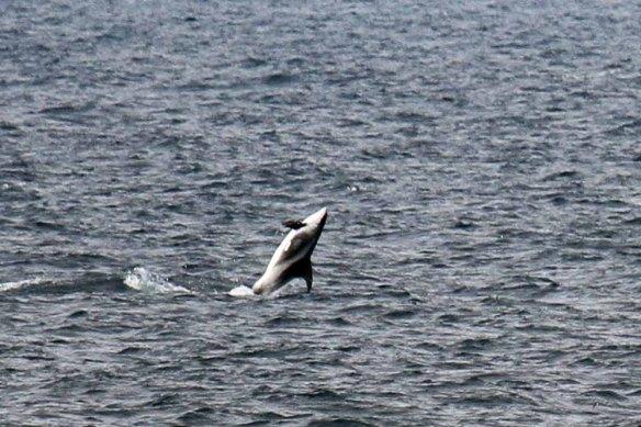 White-beaked Dolphins (26)