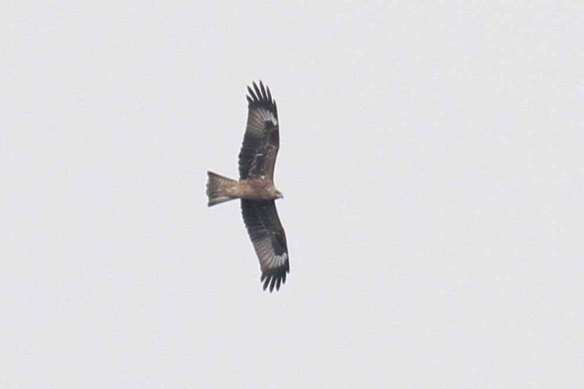 Black Kite showing lineatus features (1)