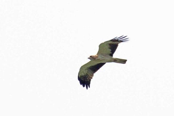 Booted Eagle (59)
