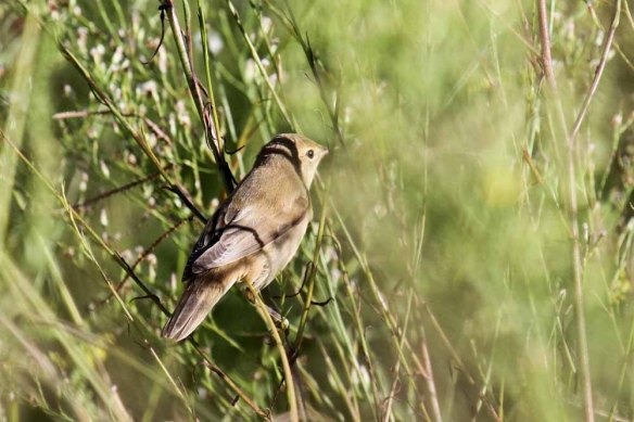 Caspian Reed Warbler