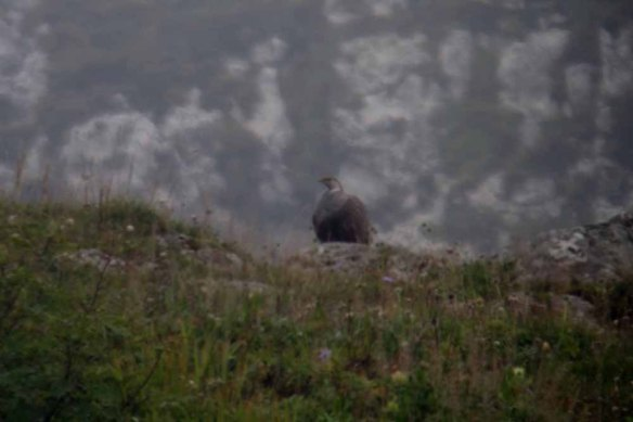 Caspian Snowcock (5)