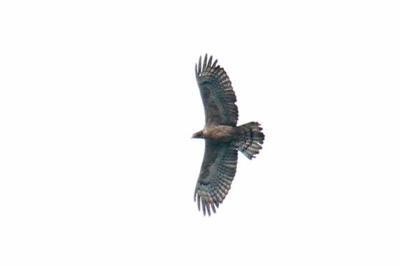 Crested Honey Buzzard ad fem 1 (63)