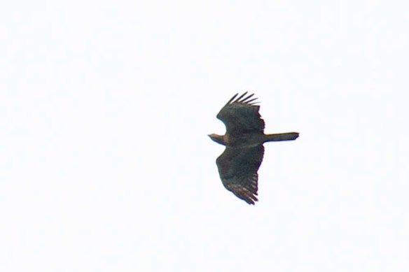 Crested Honey Buzzard ad fem 1 (89)
