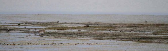 Garganey and Broad-billed Sandpipers (9)