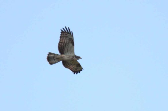 Honey Buzzard (107)