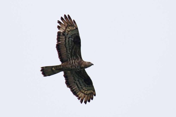 Honey Buzzard (2)