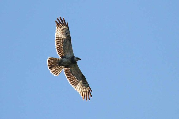 Honey Buzzard (23)