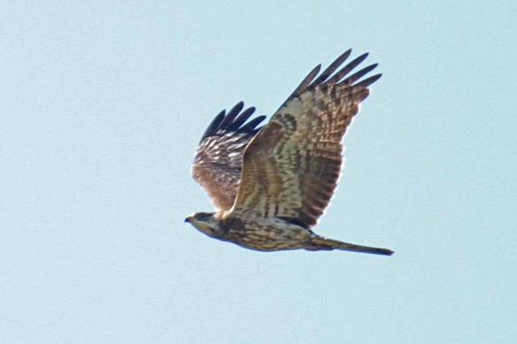 Honey Buzzard (3)